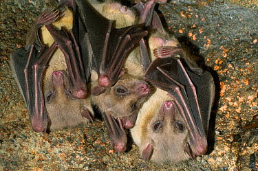 Close-up of Egyptian fruit bats (Rousettus aegyptiacus) roosting, Egypt (captive)  -  Philippe Clement/ npl