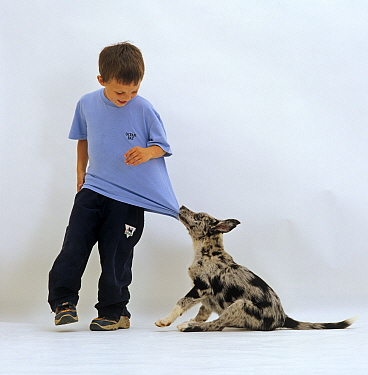 Blue merle Border Collie pup pulling 6-year-old boy's shirt  -  Jane Burton/ npl
