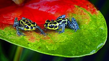 Two Poison dart frogs (Dendrobates imitator) perching on leaf, captive, Peru  -  Michael D. Kern/ npl