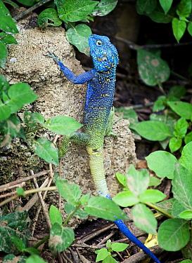 Blue headed tree agama (Acanthocerus atricollis) Uganda  -  Michael D. Kern/ npl