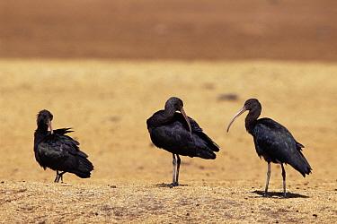 Puna ibis (Plegadis ridgwayi) Oruro, Bolivia  -  Luiz Claudio Marigo/ npl