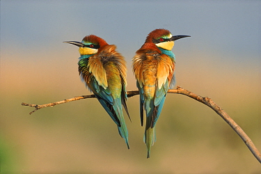 European bee eaters (Merops apiaster) perched on branch, Greece  -  Steve Knell/ npl