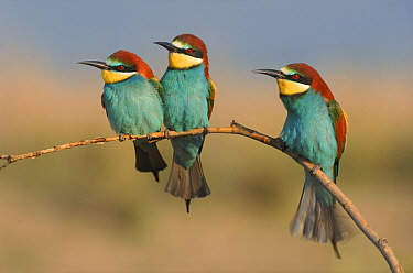 Three European bee eaters perched on branch, Greece  -  Steve Knell/ npl