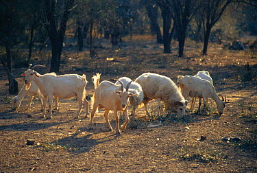 Dometic goat herd grazing, Copo NP, Dry Chaco, Argentina over 80% of Dry Chaco forest is affected by overgrazing South America  -  Daniel Gomez/ npl