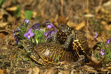 Ornate box turtles (Terrapene ornata ornata) mating pair, Illinois, USA  -  Lynn M. Stone/ npl