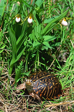 Ornate box turtle (Terrapene ornata ornata) underneath flowering Ladies slipper orchid, Illinois, USA  -  Lynn M. Stone/ npl