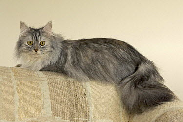 Longhair cat (Felis catus) portrait on sofa  -  Shattil & Rozinski/ npl
