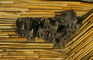 Roussette fruit bats (Rousettus aegyptiacus) roosting under bamboo roof, Egypt  -  Dietmar Nill/ npl