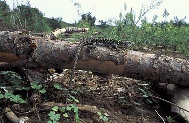 Italian wall lizard male (Podarcis sicula) Italy  -  Tony Phelps/ npl