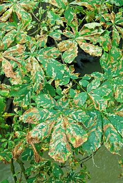 Horse Chestnut tree (Aesculus hippocastanum) leaves infested by Leaf Miner moth (Cameraria ohridella), 2006, UK  -  Adrian Davies/ npl