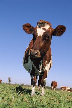 Domestic cow, Ayrshire breed, USA  -  Lynn M. Stone/ npl