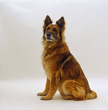 German Shepherd Dog, Alsatian sitting  -  Jane Burton/ npl