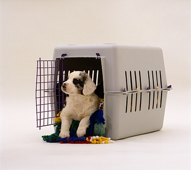 Blue Merle Springer Spaniel x Border Collie pup in a carrying crate, 5 weeks old  -  Jane Burton/ npl