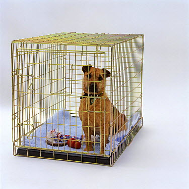 Border Terrier sitting in his crate (indoor kennel)  -  Jane Burton/ npl