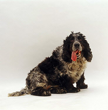 Very overweight Blue Roan English Cocker Spaniel dog panting with tongue hanging from the side of its mouth  -  Jane Burton/ npl