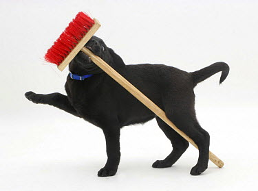 Black Labrador pup playing with a child's broom  -  Jane Burton/ npl