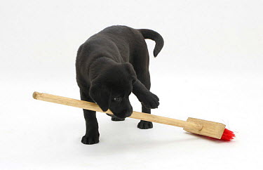 Black Labrador pup 'sweeping' the floor with a child's broom  -  Jane Burton/ npl