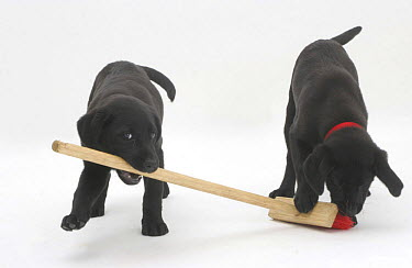 Two Black Labrador pups playing with a child's broom  -  Jane Burton/ npl