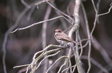 Female Vermillion flycatcher in tree (Procephalus rubinus) Atreu-co Argentina, South America  -  Gabriel Rojo/ npl