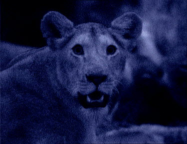 Lioness at night with dilated pupils, Kenya Starlight image intensifier camera image taken with no artificial light  -  Martin Dohrn/ npl