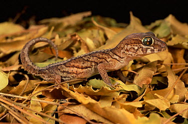 Big eyed, headed gecko (Paroedura pictus) Ifaty spiny forest, SW Madagascar  -  Nick Garbutt/ npl