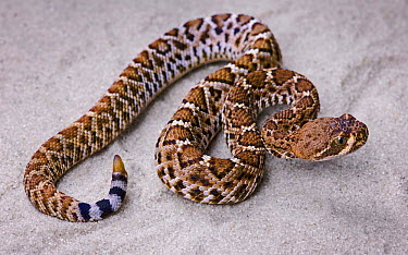 Red diamond rattlesnake (Crotalus ruber) captive snake; occurs south western USA  -  Michael D. Kern/ npl