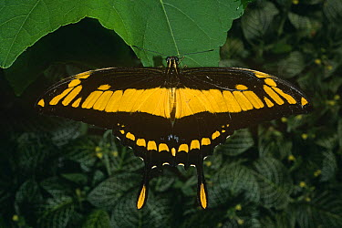 Citrus swallowtail butterfly (Papilio thoas) captive, Amazonia, Ecuador  -  Pete Oxford/ npl