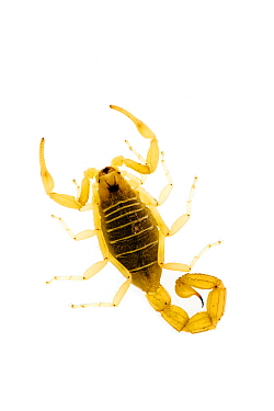 European scorpion (Buthus occitanus) Spain WWE BOOK WWE OUTDOOR EXHIBITION NOT TO BE USED FOR GREETING CARDS OR CALENDARS  -  Niall Benvie/ npl