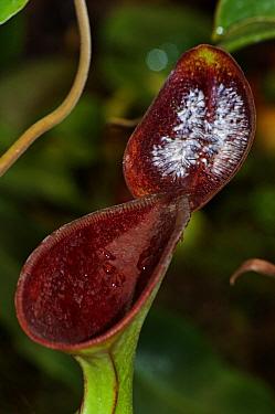 Pitcher plant (Nepenthes lowii) Borneo  -  Adrian Davies/ npl