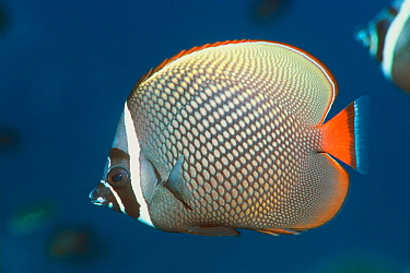 Redtail, Collared butterflyfish (Chaetodon collare) Andaman Sea, Thailand  -  Georgette Douwma/ npl