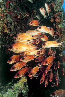Longspine squirrelfish (Holocentrus rufus) on the wreck of the SS Rhone, British Virgin Is, Caribbean  -  Michael Pitts/ npl