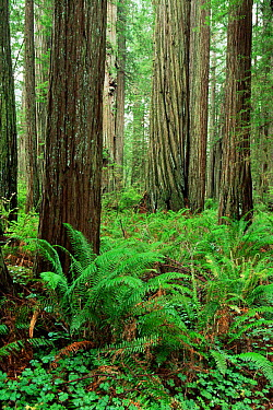 Coast Giant redwood trees (Sequoia sempervirens) Sorrel and ferns, Humboldt State Park, California, USA  -  Michael Hutchinson/ npl