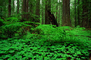 Redwood sorrel (Oxalis oregana) and ferns on forest floor of Coast Giant redwood trees (Sequoia sempervirens) Humboldt State Park, California, USA  -  Michael Hutchinson/ npl