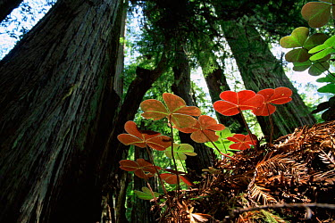 Redwood sorrel (Oxalis oregana) on forest floor beneath Coast Giant redwood trees (Sequoia sempervirens) Humboldt State Park, California, USA  -  Michael Hutchinson/ npl