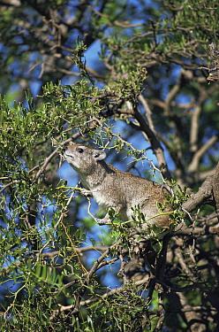 Tree hyrax (Dendrohyrax arboreus) in tree, Serengeti NP, Tanzania  -  Jabruson/ npl