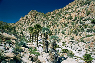 Desert landscape with California palm (Washingtonia sp) and Mexican Blue palm (Brahea armata) near Catavinia, Baja, Mexico  -  Mike Potts/ npl
