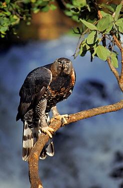 Crowned hawk eagle, Zimbabwe Captive bird  -  Neil Lucas/ npl