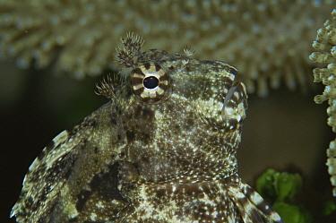 Jewelled blenny (Salarias fasciatus) Sulawesi, Indonesia  -  Constantinos Petrinos/ npl