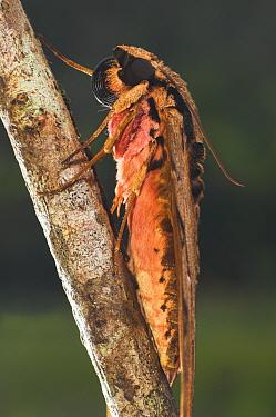Darwin's Hawkmoth (Xanthopan morgani praedicta) Andasibe-Mantadia National Park, Madagascar  -  Nick Garbutt/ npl