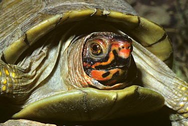 Ornate box turtle (Terrapene ornata ornata) captive, from USA and Mexico  -  Rod Williams/ npl