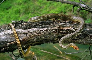 Whipsnake (Hierophis caspius) in habitat, Kresna Gorge, Bulgaria  -  Georgi Tzonev/ npl