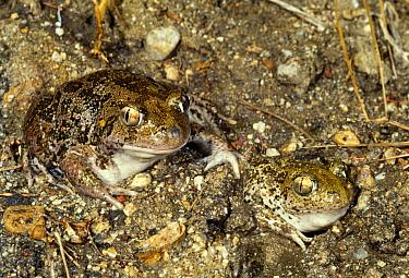 Syrian spadefoot toads (Pelobates syriacus balcanicus) Rupite, Bulgaria  -  Georgi Tzonev/ npl