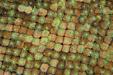 Oyamel fir trees (Abies religiosa) growing in pots in nursery for a reforestation programme to replant after illegal logging has destroyed areas of mountain forests where Monarch butterflies (Danaus plexippus) overwinter, Michoacan, Mexico  -  Ingo Arndt/ npl