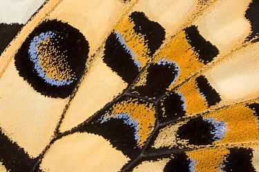 Close-up of wing pattern of Lemon, Common lime swallowtail butterfly (Papilio demoleus) Asia, Captive  -  Ingo Arndt/ npl
