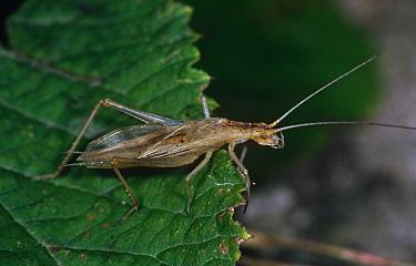 Tree cricket (Oecanthus pellucens) Hungary  -  Hans Christoph Kappel/ npl