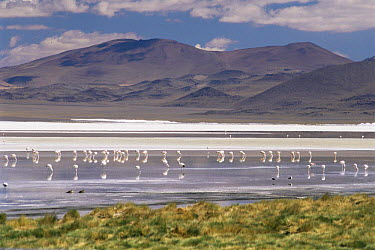 James (Phoenicoparrus jamesi) and Andean flamingoes (Phoenicoparrus andinus) on Lago Colorado at 4200m in Andes, Bolivia  -  Doug Allan/ npl