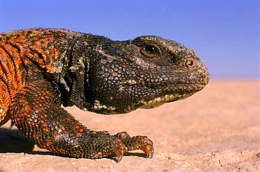 Moroccan spiny tailed lizard (Uromastyx acanthinurus) SE Morocco  -  Graham Hatherley/ npl