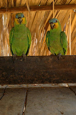 Two pet Orange winged amazon parrots (Amazona amazonica) Para State, Brazil  -  Daniel Gomez/ npl