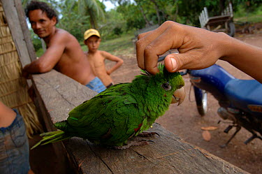 Blue crowned parrot pet (Aratinga acuticaudata) Para State, Brazil  -  Daniel Gomez/ npl