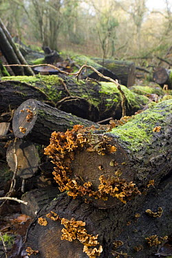 Hairy Stereum fungus (Stereum hirsutum) growing on wood pile, logs left to rot to encourage insects and fungi in woodland managed for wildlife, North Somerset, UK  -  Michael Hutchinson/ npl